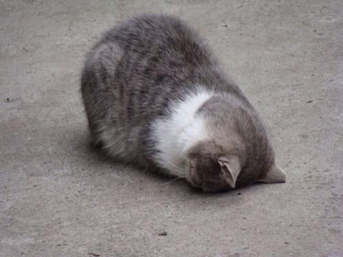 Một chú mèo mắc chứng Head Pressing (Ảnh: Internet)