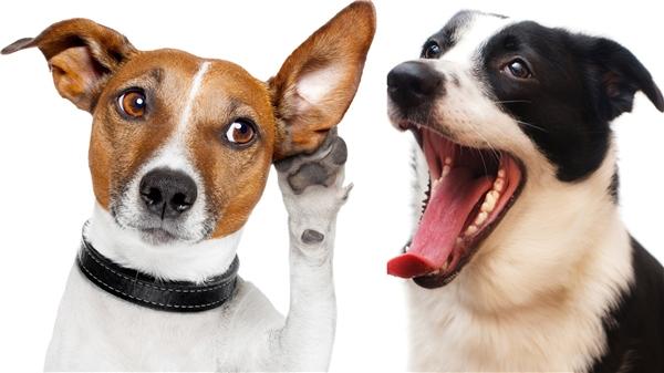 Loài chó xử lí từ vựng và ngữ điệu bằng các phần khác nhau của não bộ - tương tự như những gì diễn ra trong não của con người. (Ảnh minh họa - Nguồn: Internet)