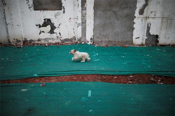 Một chú chó nhỏ chạy trên những tấm bạt xanh trải trên khu đất.