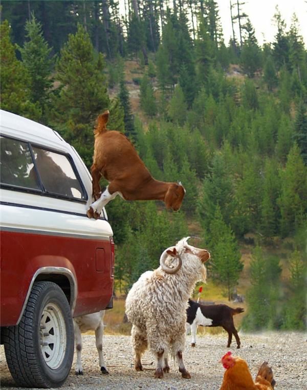 Đỉnh cao của trò nhảy cừu là đây chứ đâu.
