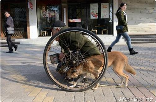 Mỗi khi ông ra ngoài xin ăn là nó lại lẽo đẽo theo sau, dùng đầu húc vào xe lăn như phụ ông đẩy chiếc xe lăn nặng nề.