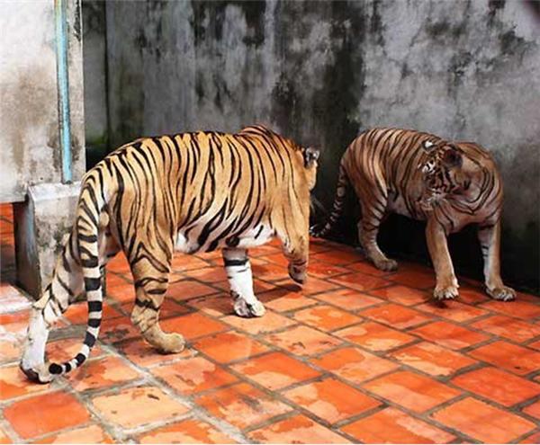 Hổ cái vồ chết nam công nhân khi đang được cho ăn. (Ảnh: Internet)