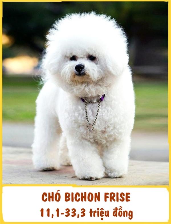 Giống chóBichon Frise có nguồn gốc từ Pháp và được phát hiện cách đây vài trăm năm. Với lớp lông bông xù, trông giống Bichon Frise như những chú thú bông thu nhỏ. Bichon Frise là một người bạn vui tính, năng động và thông minh. Mỗi em có giá tầm khoảng 11,1-33,3 triệu đồng.
