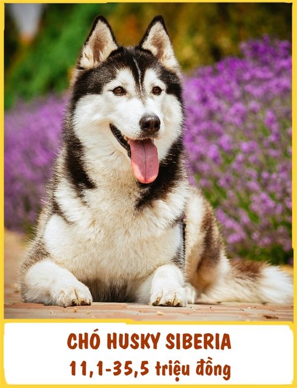 """Giống Husky Siberia được đăng kí vàonăm 1938 và có nguồn gốc từ vùng viễn đông Nga. Những chú chó Husky này trầm tính, """"lạnh lùng"""" nhưng không kém phần thân thiện. Husky """"đòi hỏi"""" khá nhiều ở chủ nhân, đặc biệt là việc đi dạo bộ. Để sở hữu được một em Husky, bạn phải chuẩn bị khoảng 11,1-35,5 triệu đồng."""
