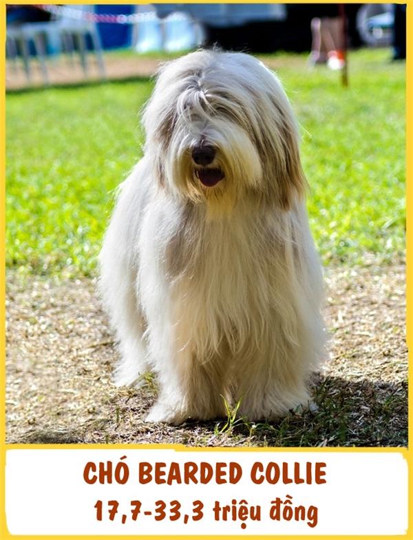 ChóBearded Collie (hay còn gọi là chó chăn cừu râu dài) là một trong những giống chó lâu đời nhất ở Scottish. Giống này cực kì thân thiện, yêu thích trẻ em và có thể thích nghi ở bất kì điều kiện nào. Mỗi em cún ưa nhìn này có giá tầm khoảng 17,7-33,3 triệu đồng.