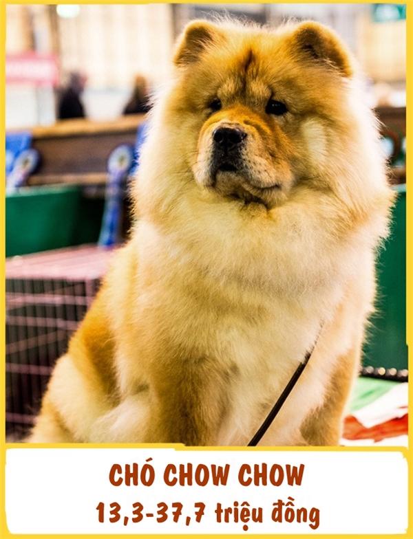 Là một trong những giống chó lâu đời nhất thế giới, Chow Chow thuộc họ Spitz. Giống chó này được đánh giá là một bảo vệ tuyệt vời và người bạn đồng hành rất trung thành. Chow Chow còn được biết đến như những cô cậu khó tính và bướng bỉnh nhất. Để huấn luyện chúng trở thành những chú chó hiền lành, tốt bụng, người chủphải cực kìkiên nhẫn và có kiến thức chuyên môn. Giá của một em Chow Chow ở khoảng 13,3-37,7 triệu đồng.