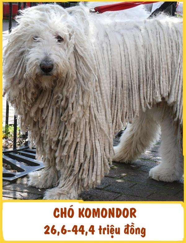 Komondor hay còn gọi là chó giẻ lau làmột trong những giống chólâu đời và độc đáo nhất thế giới. Chúng thường được nuôi để làm chân bảo vệ trong nhà vào thế kỉ X. Komondor rất nhạy bén, trầm tính và là một loài động vật cực kì kiêu hãnh. Huấn luyện giống chó này không quá khó khăn. Một khi đã gắn kết với chủ nhân, chúng sẽ tuyệt đối trung thành và luôn thể hiện sự quan tâm, nhiệt tình với chủ. Giá mỗi em Komondor dao động từ 26,6-44,4 triệu đồng.