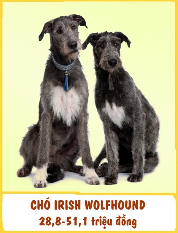Irish Wolfhound là một giống chó săn và được xếp trong top những giống chó lớn nhất thế giới. Giống chó này nổi bật với sự dũng cảm, kiên trì và có sức bền cao. Ngoài ra,Irish Wolfhound còn được đánh giá khá thân thiện và ôn hòa. Mỗi emIrish Wolfhound có giá tầm khoảng 28,8-51,1 triệu đồng.