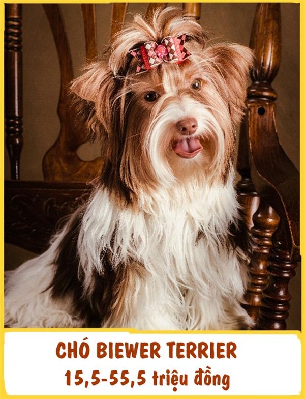 Biewer Terrier là một giống chó cảnh mới xuất hiện, có nguồn gốc từ Đức. Chúng có bộ lông dài mượt và khuôn mặt cực kì ưa nhìn.Biewer Terrier rất thân thiện và luôn tạo ra cảm giác vui vẻ cho những ai ở gần nó. Chi phí của mỗi em chó cảnh này dao động từ 15,5-55,5 triệu đồng.
