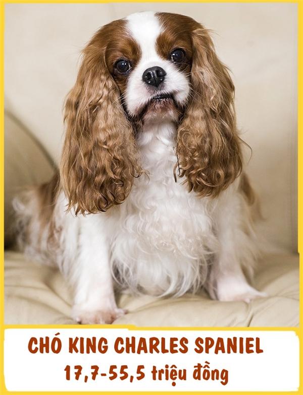 """King Charles Spaniel là một giống chó nhỏ,xuất hiện lần đầu tiên ở Anh vào thế kỉ thứ XVI. Chúng nổi bật với tính kiên trì,nhẫn nại và """"cuồng"""" sạch sẽ. Ngoài ra,King Charles Spaniel còn được đánh giá là giống chó rất trung thành. ĐểKing Charles Spaniel trở thành thú cưng của mình, bạn cần có khoảng ít nhất17,7-55,5 triệu đồng."""