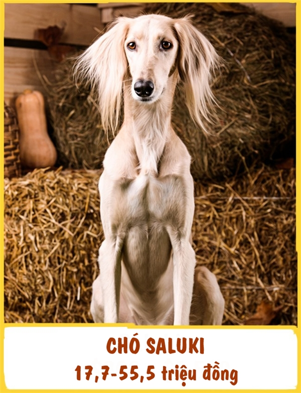 Saluki là một trong những giống chó được thuần hóa sớm nhất. Chúng khá điềm tĩnh và thường rất thân thiện với tất cả mọi thành viên trong gia đình. Tuy nhiên, đối với người ngoài, giống chó này lại tỏ ra cực kì cảnh giác. Mỗi em Saluki sẽ có giá tầm 17,7-55,5 triệu đồng.