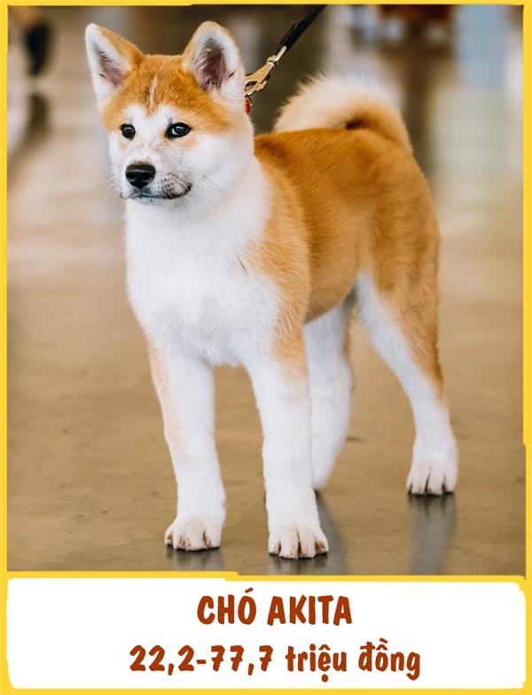 """Giống chó Akita được phát hiện lần đầu tiên ở Akita, phía bắc Nhật Bản. Ở đây, chúng được xem như báu vật quốc gia. Akita được mô tả như một người đồng hành thông minh, dũng cảm, trung thành và cực kì tận tâm với chủ nhân. Giống chó này là một """"kỵsĩ"""" xuất sắc và được huấn luyện rất dễ dàng. Ở bất kì đâu cũng vậy, giá mỗi chú Akita có giákhoảng 22,2-77,7 triệu đồng."""