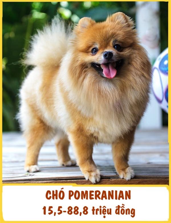 Pomeranianhay còn gọi là chó phốc sóc, có nguồn gốc từ Đức và là một giống chó cảnh. Bên cạnh sự thông minh, trung thành và nhạy bén như bao giống chó khác,Pomeranian còn nổi tiếng bởi tính cách vui vẻ và gương mặt luôn tươi cười của chúng. Mỗi emPomeranian như vậy có giá khoảng 15,5-88,8 triệu đồng.