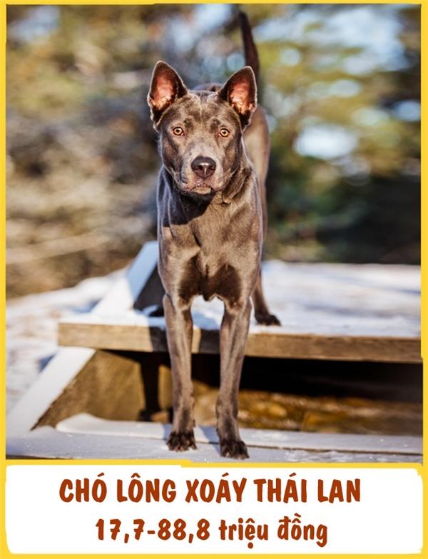 Chó lông xoáy Thái Lan (Thai Ridgeback) là giống chó săn. Chúng ta thườngthấy sựnăng động và mạnh mẽ nổi trội của chúngqua những bước chạy dài. Ngoài ra, giống này còn được đánh giá rất thông minh, nhạy bén. Chi phí phải trả để trở thành chủ nhân của chó lông xoáy không hề rẻ tí nào, ở khoảng 17,7-88,8 triệu đồng.