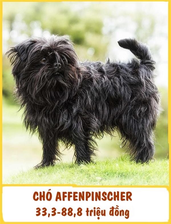 Đây là giống chó nhỏ cổ xưa, lâu đời ở Đức, được phát hiện từ đầuthế kỉ thứ XVII. Ban đầu,Affenpinscher được nuôi để bắt chuột. Với sự nhạy bén, nhanh nhẹn,Affenpinscher dần trở thành những chú chó bảo vệ tuyệt vời. Chúng có khả năng phát hiện và thông báo nguy hiểm với chủ nhân rất nhanh bằng những tiếng sủa to vang. Giá của mỗi chú Affenpinscher dao động từ 33,3-88,8 triệu đồng.
