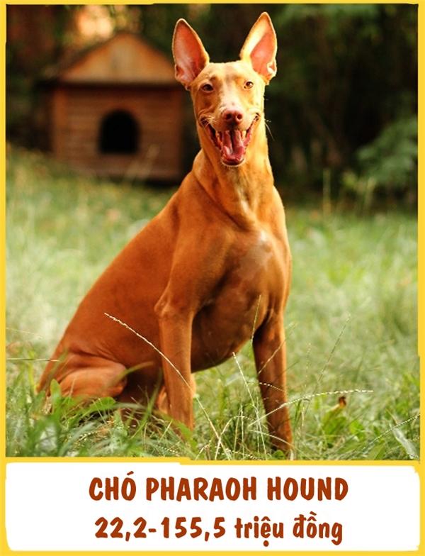 Đây là một giống chó săncực kì cổ xưavới lịch sửtồn tại đãhơn 5.000 năm. Hình ảnh giốngPharaoh Hound có thể được tìm thấy trong các ngôi mộ Pharaoh cổ đại của Ai Cập. Ngày nay, chúng được nuôi như một chú thú cưng. Pharaoh rất thông minh, vui tươi, thân thiện và hòa đồng với các loài động vật khác mặc dù đôi khi hơi kiêu ngạo. Để mang một emPharaoh Hound về nhà, bạn cần chuẩn bị khoảng 22,2-155,5 triệu đồng.