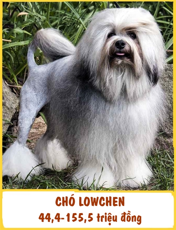 Giống chó cảnh này có nguồn gốc từ Pháp. Năm 1960, Löwchen đi vào sách kỉ lục Guiness như là một giống chó hiếm nhất trên thế giới. Từ sự hiếm có đó, các nhà nhân giống đã vào cuộc và bắt đầu nhânsố lượng giống chó này lên. Löwchen dũng cảm, trực giác nhạyvà cực kìtận tâm với chủ nhân. Bạn có thể mua một chúLöwchen với giá 44,4-155,5 triệu đồng.