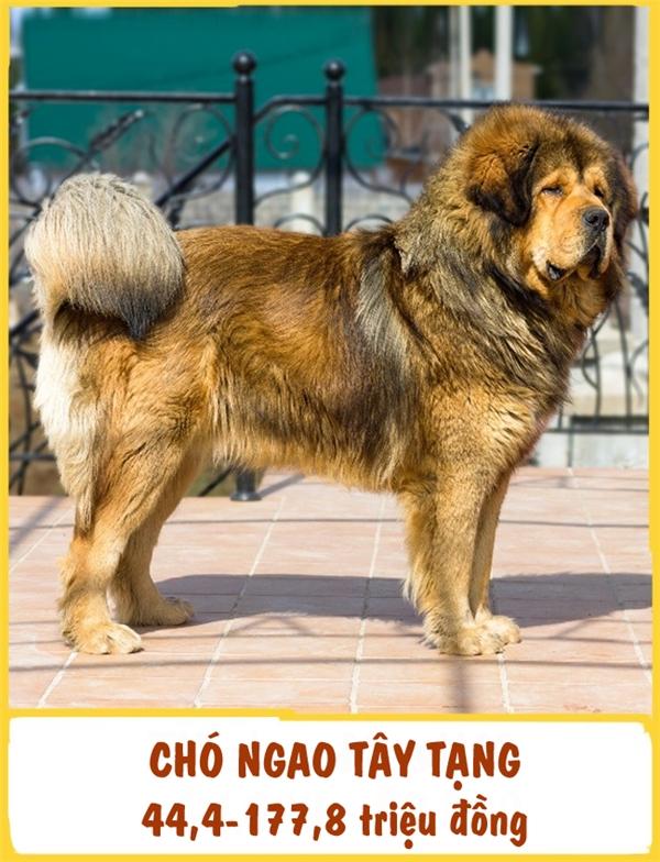 """Chó Ngao Tây Tạng là một giống chó cổ, xuất hiện từ hơn 5.000 năm trước. Đặc điểm của giống chó này làđiềmtĩnh, tận tụy, kiên trì và có thểphục vụ như ngườibảo vệ hoặcngười bạn trung thành.Tương tựKing Charles Spaniel,Chó Ngao Tây Tạng cũng """"cuồng"""" sạch sẽ. Chi phí cho một con chó con Chó Ngao Tây Tạng dao động từ 44,4-177,8 triệu đồng."""
