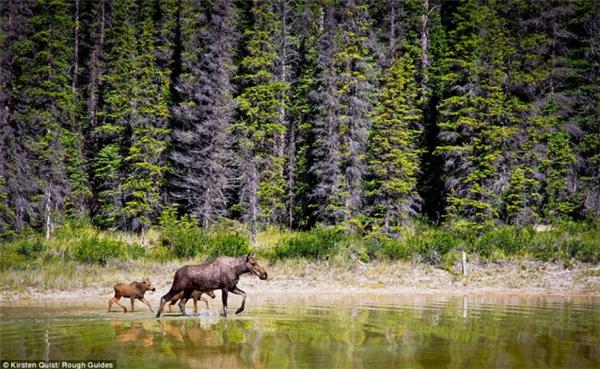 Gia đình nai sừng tấm đi qua một ao nước gần Nordegg, Alberta, Canada.