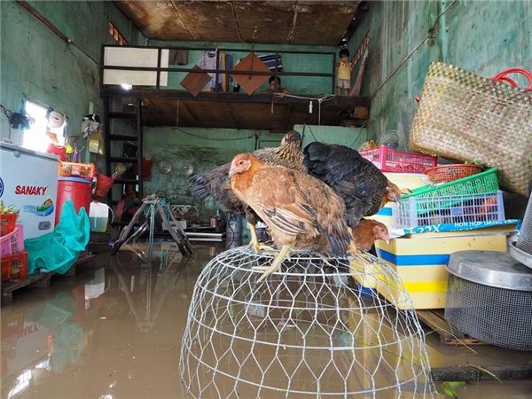 Gia cầm vật nuôi được đặt ở những nơi cao nhất trong nhà.Người dân không thể sinh hoạt, nấu cơm, giặt giũ... Trận mưa lớn đã để lại thiệt hại dài cho bà con nơi đây