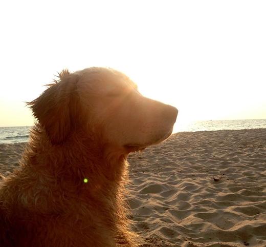 Hốp thuộc giống chó Golden Retriever.