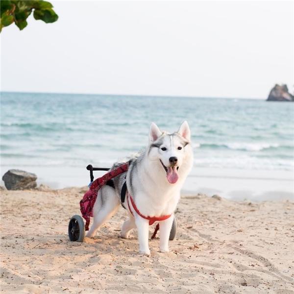 Ban đầuKitgặp không ít khó khăn trong việc chăm sóc một con chó khuyết tật.