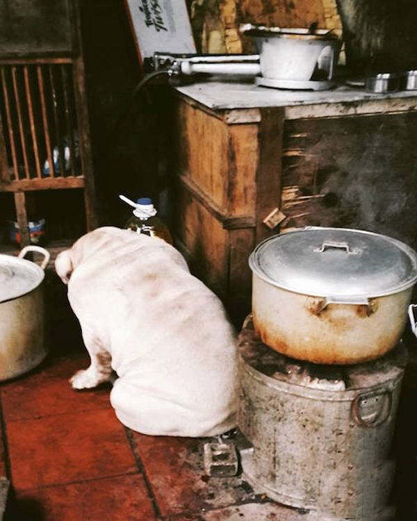 Chú chó Bull này nặng 40kg và bị liệt vào danh sách chó béo phì.