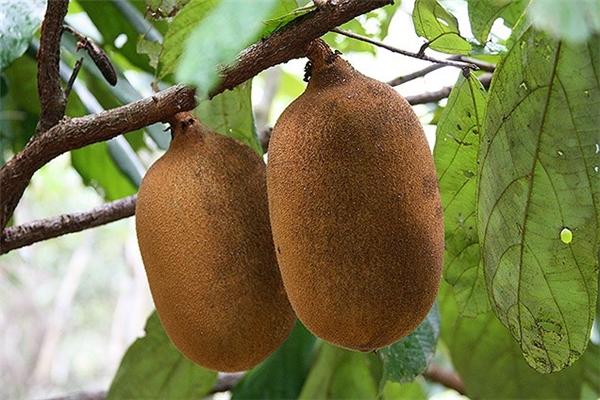 Cupuacu hay có tên khoa học làTheobroma grandiflorum, được tìm thấychủ yếu trong rừng nhiệt đới hoang dã Amazon. Ngoài ra, thứ quả nàycũng được trồng ởPeru. Cupuacu có kích thước bằng một quả dưa hấu nhỏ, vỏ khá dày. Khi chín, ruột quả có màu vàng gần như màu múi mít chín, thơm vị cacao. Chính vì mùi thơm đặc trưng này, người Brazil thườngdùng Cupuacu trongsản xuất socola.