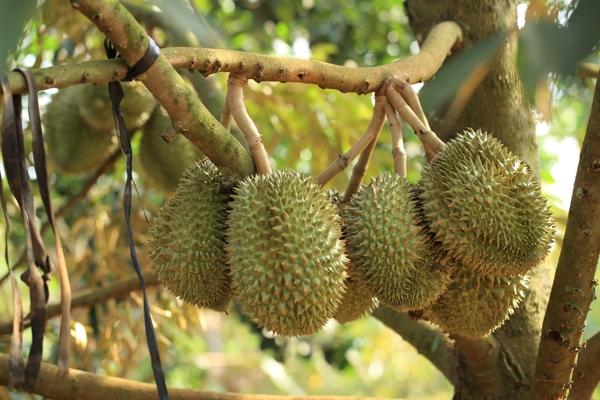 """Sầu Riêng theo mùa được mệnh danh là """"vua của các loại trái cây""""trên khắp các nước Nam Á. Loại quả này cónguồn gốc từIndonesia và Malaysia, còn tại Việt Nam nổi tiếng nhất là vùng Cái Mơn, Bến Tre.Sầu Riêng có vỏ dày với lớp gai nhọn,khi chín cơm quả màu vàng tươi, mùi nồng đặc trưng.Tuy nhiên vì quá nồng, loại quả này bị các quốc giaSingapore, Thái Lan, Trung Quốc và Nhật Bản cấmmang đến nhữngkhu vựccông cộng."""