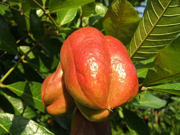Ackee là một trong những loại trái cây quý hiếm nhất thế giới, có nguồn gốctừ vùng nhiệt đới Tây châu Phi. Ackee thuộc họ Sapindaceae (họ bồ hòn) đồng thờilà loại quả quốc gia của Jamaica. Quả Ackee khi chín thườngchuyển từ màu xanh sang màu vàng cam rồi nứt ra để lộ bahạt đen lớn, bóng bẩy bao bọc bởi lớpthịt mềmmịn, xốp, có màu trắng hoặc vàng. Ở các nước châu Phi, Ackee được sử dụng để ăn kèmvới các món rau.