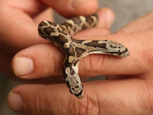 Một người phụ nữ đã phát hiện ra con rắn khi con chó của cô đuổi theo thứ gì đó ở trước cổng. Ngay lập tức, gia đình này mang con rắn lạ lùng đến sở thú Waco's Cameron. (Ảnh: AP)