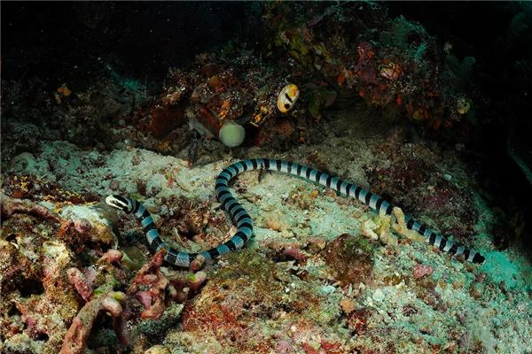 Rắn biển Belcher sở hữunộc độc mạnh nhất trong số tất cảcác loài rắn.