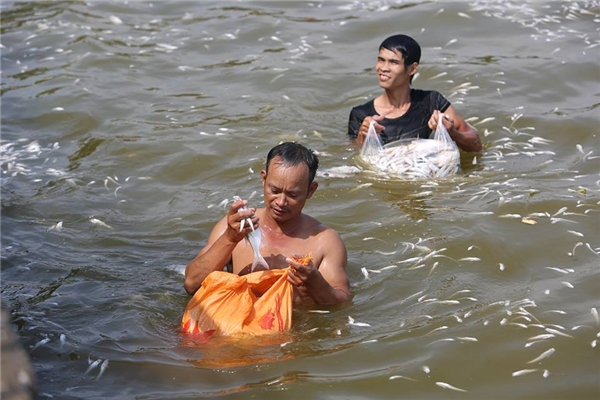 Không chỉ lực lượng được thuê vớt cá làm sạch mặt nước và người dân vớt nhặt về làm thực phẩm cho gia súc đềubì bõm dưới lànnước bốc mùi.