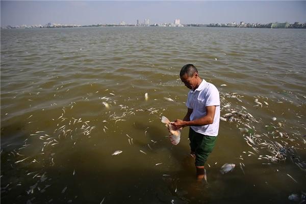 Bất chấp mất vệ sinh và mùi khó chịu, một người dân tranh thủ vớt những con cá to về làm đồ ăn cho lợn.