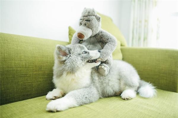 Alaska lai Samoyed - Đây là chú chó có bộ lông độc nhất vô nhị tại VN