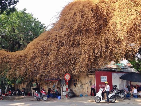 Giàn cây mới chỉ ngả vàng mấy ngày nay thu hút sự quan tâm của đông đảo người đi đường lẫn các bạn trẻ.