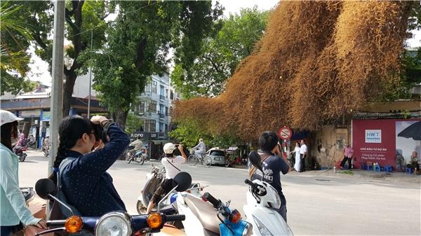 Các bạn trẻ đến chụp ảnh rất đông và lấy là thích thú với cây có màu lạ mắt.