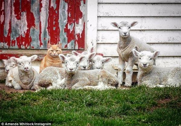 Steve đang thể hiện tài lãnh đạo của mình trước bầy cừu