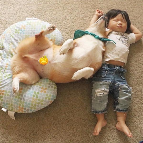 Tan chảy trước cặp đôi nhóc tì - corgi ham ngủ nhất thế giới