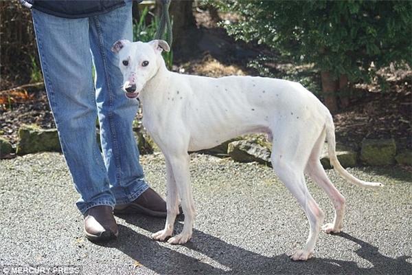 May mắn đã mỉm cười với chú chó gầy trơ xương từng được giải cứu ở Anh
