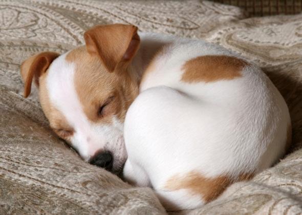 Những chú chó ngủ như thế này thường có chút ngọt ngào lãng mạn.