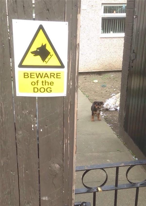 Này đích thị là chó dữ rồi, chủ nó dặn phải tránh xa cánh cổng 10 thước thế kia thì chắc không đùa với nó được đâu.