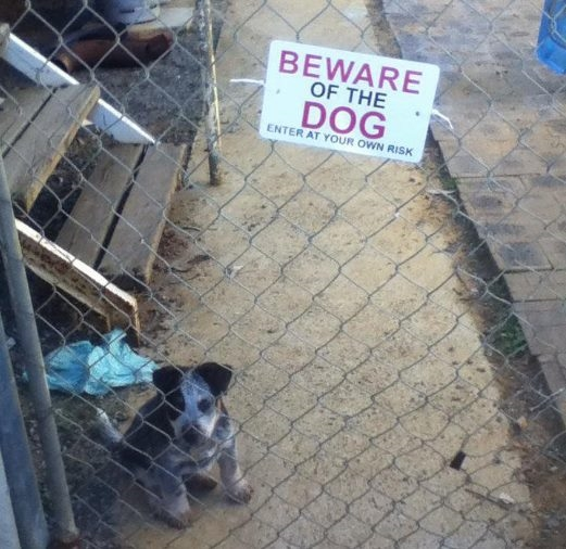 Chó nhà này dữ lắm đó, nhìn nó là nó sẽ... nhìn lại đó.