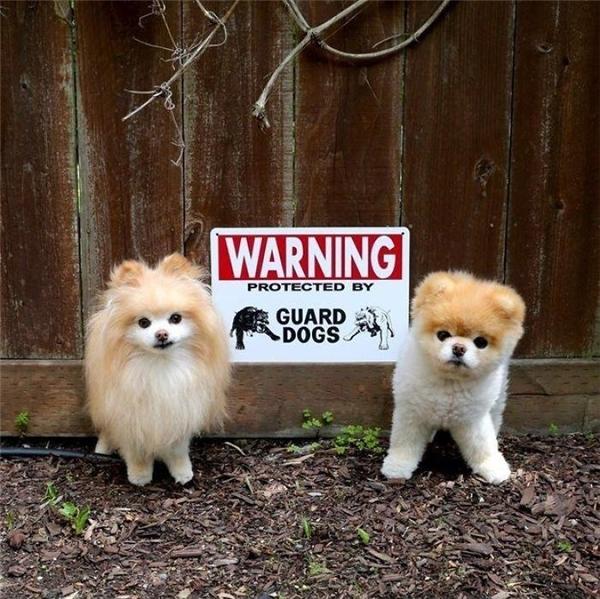 Một con chó dữ đã đáng sợ lắm rồi, đằng này những hai con, chúng nó tấn công người thì làm sao mà thoát đây?