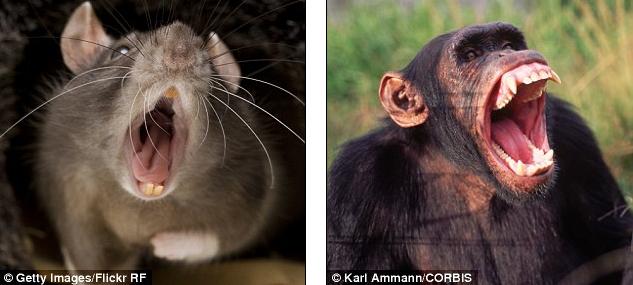 Những loài động vật như chuột, thỏ... sở hữu những chiếc ngáp ngắn nhất; trong khi đó khỉ đột, vượn, lạc đà, voi... và cuối cùng là con người là ngáp dài lâu nhất.