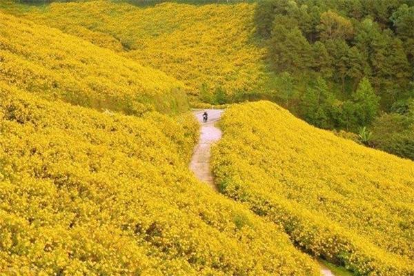 Tháng 10 làmùa hoa Dã quỳ bừng nở rực rỡkhắp núi đồi.