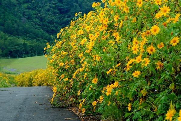 Đường đèo Liên Khương ở ngoại thành Đà Lạt cũng là cung đường hấp dẫnđể ngắm hoa Dã quỳ.