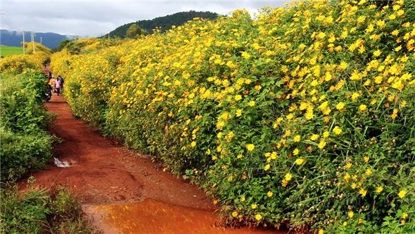 Con đường rực rỡ hoa Dã quỳ Đà Lạt ở thị trấn D'Ran - Đơn Dương.