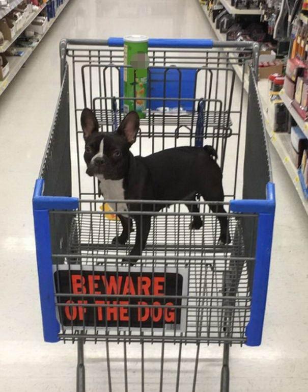 Chó dữ đang đi siêu thị, chỉ được ngắm, cấm sờ mó hiện vật.