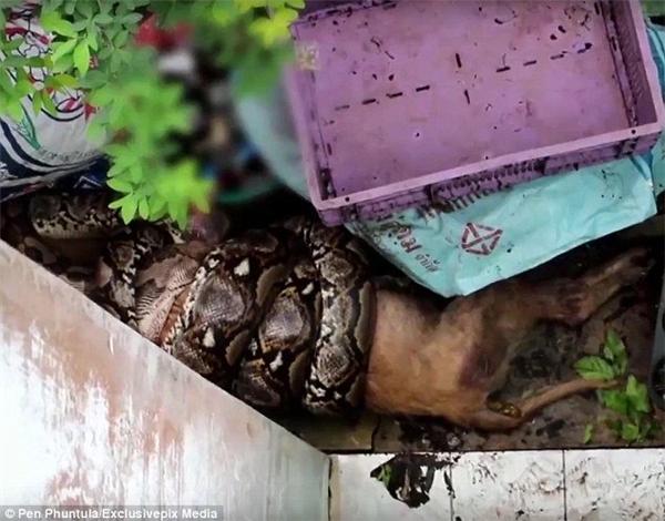 Đây đúng là một đêm ác mộng kinh hoàng nhất đối với Klomphan khi phải chứng kiến cảnh con vật yêu quý của mình bị trăn khủng cuộn chặt và nuốt dần.